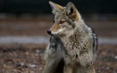 """Las controvertidas """"bombas de cianuro"""" que Estados Unidos usa para matar decenas de miles de animales salvajes"""