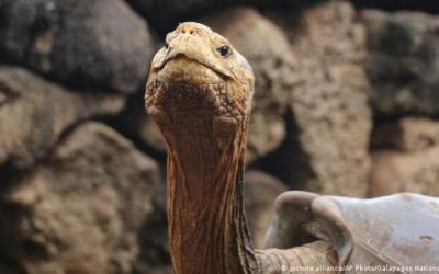 Encuentran tortuga en Galápagos que creían extinta hace un siglo