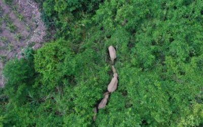 La manada de elefantes que ha recorrido más de 500 kilómetros y que tiene desconcertados a los científicos en China